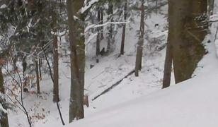 Leśniczy nagrał atak wilczej watahy na rodzinę niedźwiedzi.