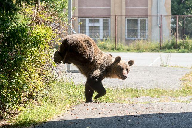 W Europie najwięcej niedźwiedzi brunatnych można spotkać m.in. na Słowacji, Węgrzech, w Rosji czy krajach skandynawskich