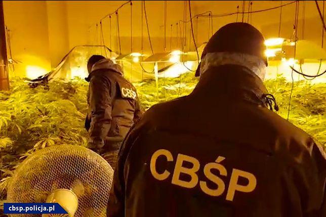 Nielegalna plantacja marihuany.