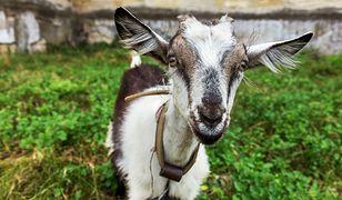 Nepal - samolot nie mógł wylądować na lotnisku z powodu kozy