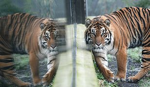 Emiraty wprowadzają nowe prawo. Zakaz trzymania w domu tygrysów i lwów