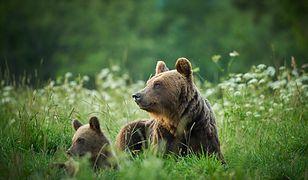Pieniny. Niedźwiedzie przy słynnym szlaku turystycznym