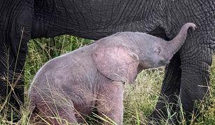 Słoniątko urodziło się w Kenii