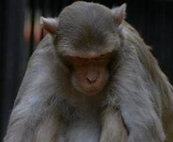 Indie. Małpa zabiła człowieka. Szokujący powód