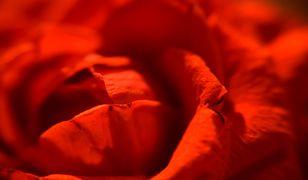 Róża to jeden z najważniejszych symboli Walentynek