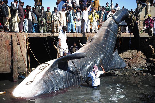 7-tonowy rekin w porcie - zdjęcia