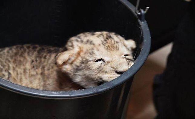 W gdańskim zoo urodziło się lwiątko