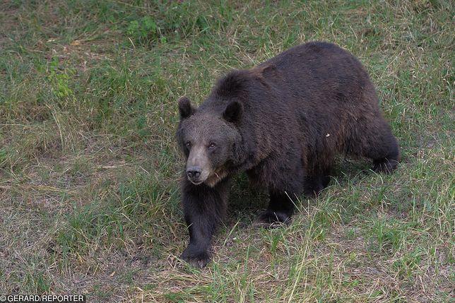 Armenia. Polacy zaatakowani przez niedźwiedzia. Mężczyzna nie żyje