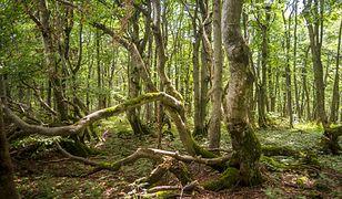 Las bukowy, Buczyna Karpacka