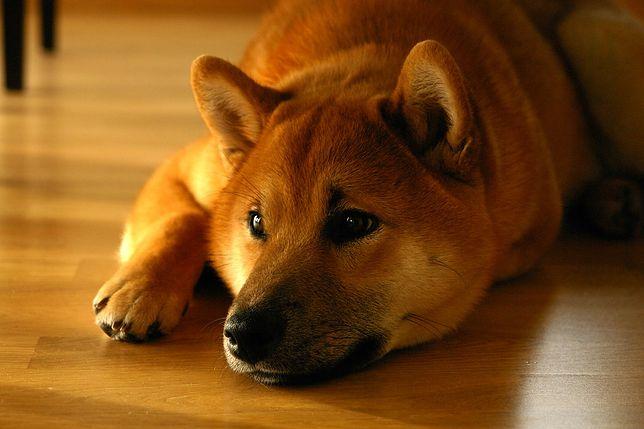 Mem z Piesełem prezentuje zabawne zdjęcie z psem rasy Shiba Inu