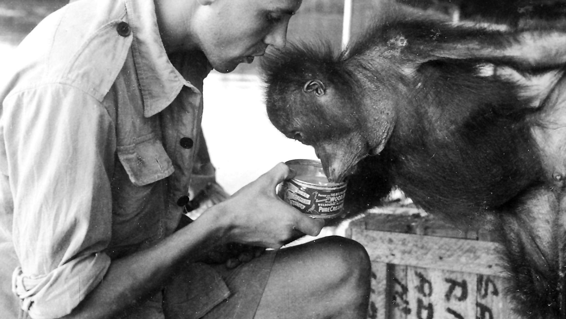 Strach, nieufność, przyjaźń - jak spotkałem orangutana Charliego