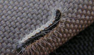 Gąsienica korowódki mogą być bardzo niebezpieczne