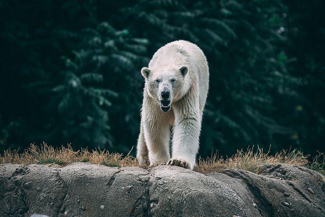 Niedźwiedź polarny w niebezpieczeństwie. Ktoś zrobił sobie z niego żarty