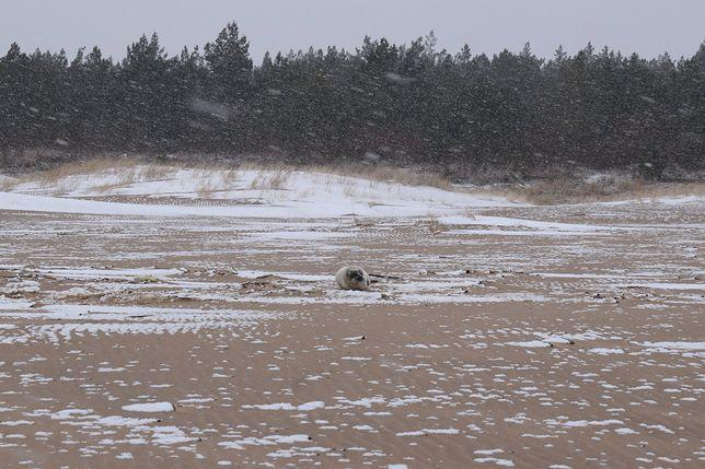 Odwodniona i wychudzona foka na plaży w Gdańsku. Trafiła do szpitala w Helu