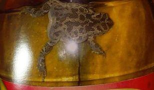 Horror! Żaba w ogórkach konserwowych!