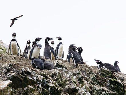 """""""Galapagos dla ubogich"""", czyli Islas Ballestas w Peru"""