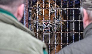 Tygrysy z przejścia granicznego przyjęło zoo w Poznaniu i Człuchowie. Rosjanin organizujący transport usłyszał zarzut