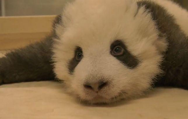 Panda z berlińskiego ZOO walczy z czkawką tuż przed snem