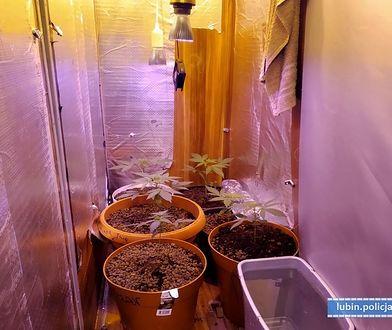 Lublin (woj. dolnośląskie). Plantacja marihuany w szafie była dobrze przygotowana