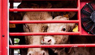 Mięso z padliny: chore krowy przerabiane na żywność. Ardanowski oburzony incydentem w rzeźni