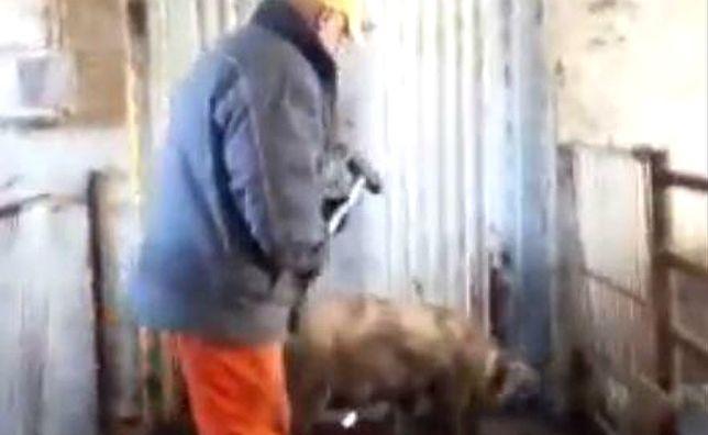 Barbarzyńcy z fermy zwierząt młotkiem mordowali świnie. Szokujące nagranie pracownika firmy