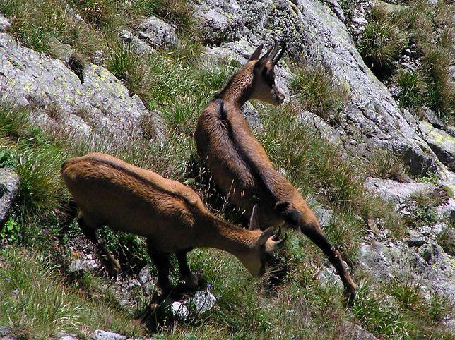 Martwe kozice w Tatrach. Służby obwiniają turystów i helikoptery