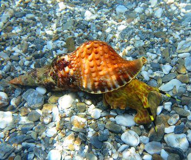 Naukowcy odkryli nowy związek zabijający raka w mazi ślimaka morskiego