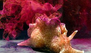 Udany przeszczep pamięci ślimaków. Kiedyś zrobią to samo u ludzi