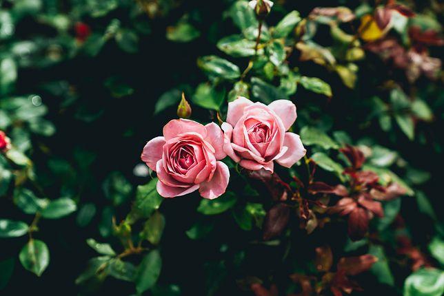 Najczęściej spotykane choroby i szkodniki na różach