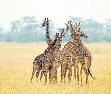 Coraz częściej słyszy się, że żyrafy już wkrótce mogą wyginąć