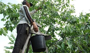 Ceny wiśni rosną. To cieszy sadowników i... złodziei