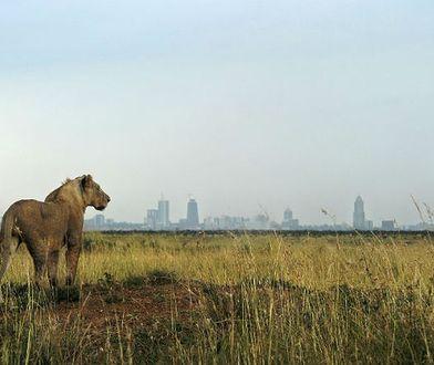 Lwica z Parku Narodowego Nairobi