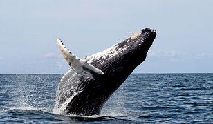 Populacja humbaków niemal wróciła do czasów sprzed szczytu przemysłu wielorybniczego