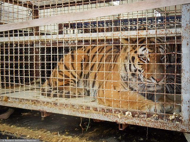 Gehenna. Tygrysy utknęły zamknięte w klatkach na przejściu granicznym w Koroszczynie
