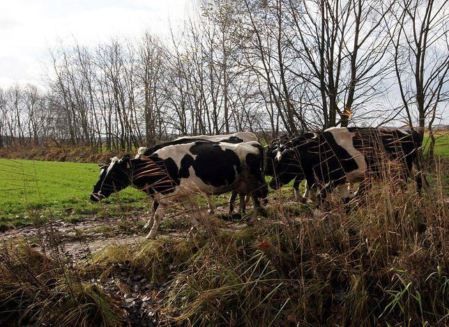 Zaskakujący alert dla kierowców. Uwaga na krowy pod Obornikami