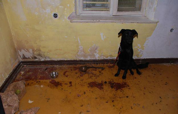 Szokujące odkrycie policji w domu 22-latka. Trzymał psa na krótkiej smyczy przybitej do podłogi