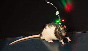 Szczur pomógł dokonać wielkiego odkrycia
