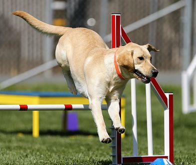 Koronawirus. Psy wykrywają zakażenie z 95 proc. skutecznością