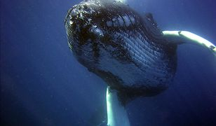 Wymiociny wieloryba warte fortunę. Rybak znalazł je na plaży