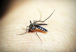 Podsłuchują komary, żeby rozpoznać ich płeć