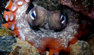 Ośmiornice ponure stworzyły na dnie Zatoki Jervis konstrukcję, o powierzchni 60 m kw