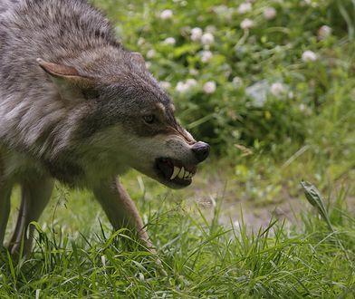 Pogryzienia zwierząt przez wilki, to sprawa często zgłaszana w okolicach Sanoka