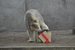 Urodziny warszawskich misiów. Zobacz, jak rozpakowywały prezenty (ZDJĘCIA)
