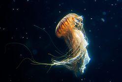 Meduzy. Galaretowate stwory w Bałtyku