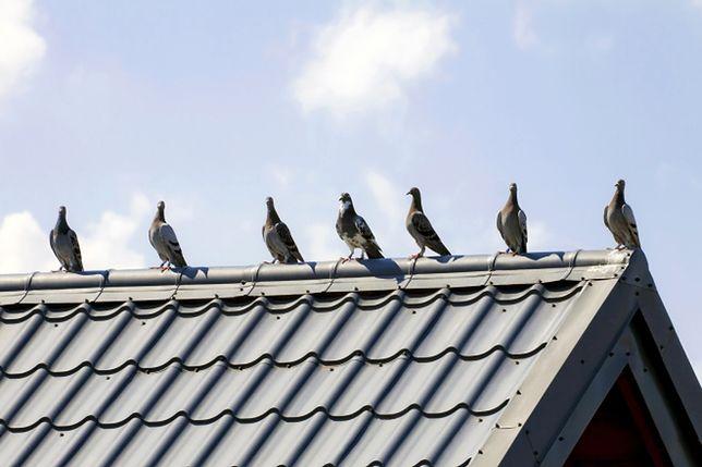 Jak odstraszyć gołębie z dachu?