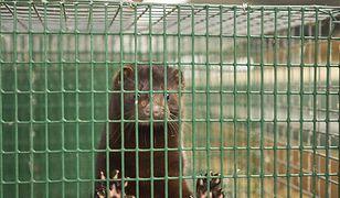 Dwaj pracownicy hodowli norek zostali skazani za znęcanie się nad zwierzętami.