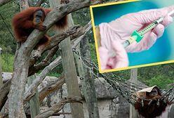 ZOO zaszczepi zwierzęta na COVID. Małpy na pierwszy ogień