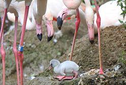 Pisklęta flaminga i kariamy. To pierwsze takie narodziny w gdańskim zoo
