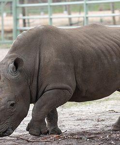 Tragedia małego nosorożca w Niemczech. Zwierzę zostało uśpione