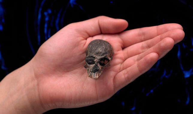 Skamieniała kość starożytnej małpy.